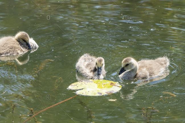Germany, Baden-Wurttemberg, Au a. Rhine, Canada Goose (Branta canadensis), chick.