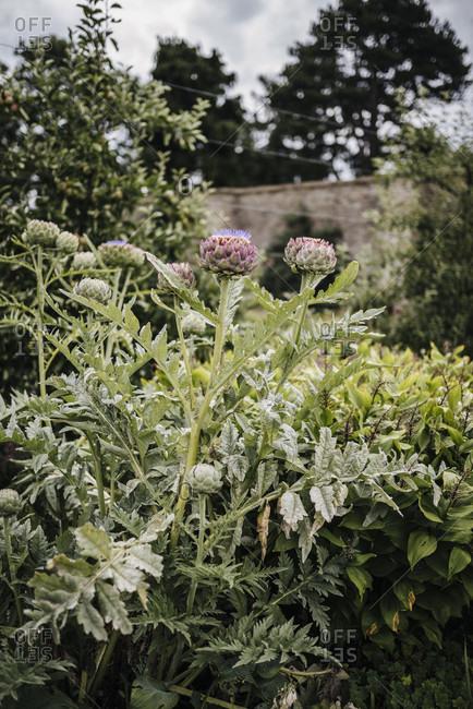 Artichokes bloom in the Victorian kitchen garden in Phoenix Park, Dublin, Ireland
