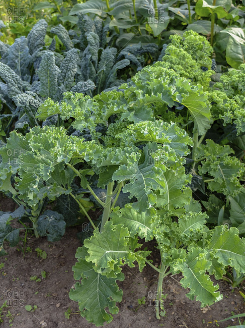 Kale (Brassica oleracea var. Sabellica) with palm cabbage in the vegetable patch