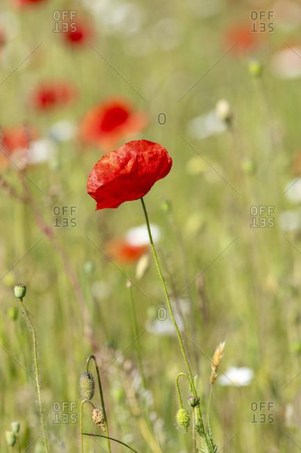 Germany, Baden-Wurttemberg, corn poppy (Papaver rhoeas), poppy, gossip rose.
