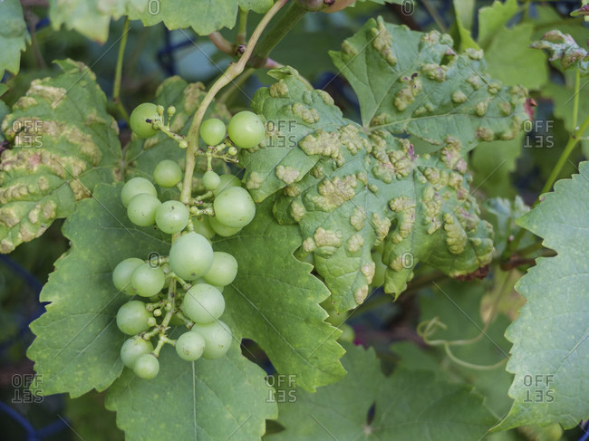 Grape leaves (Vitis vinifera) infested with grape pox mite (Eriophyes vitis)