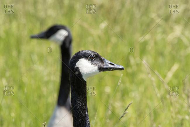 Germany, Baden-Wurttemberg, Au a. Rhine, Canada Goose (Branta canadensis).