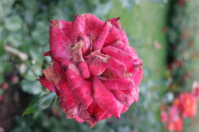 Gray mold (Botrytis cinerea) on the petals, free-range rose 'Nina Weibull'