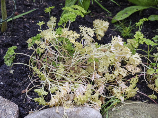 Parsley disease - the leaves of parsley (Petroselinum crispum) turn yellow