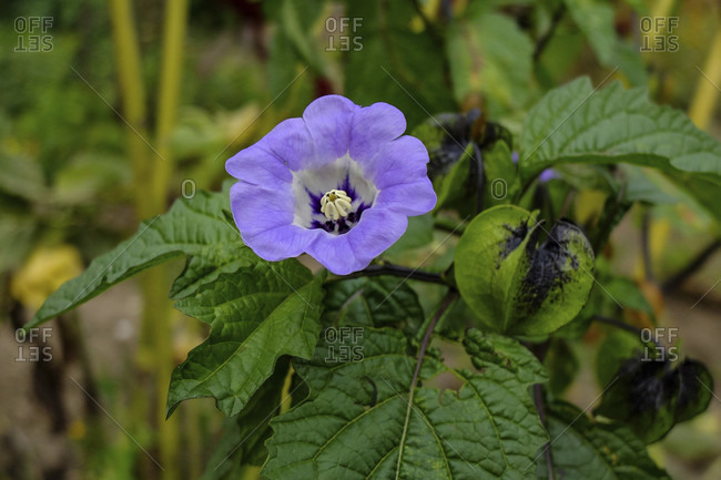 Blue physalis, poison berry (Nicandra physalodes) with flower and fruits