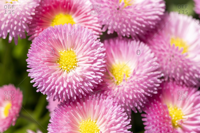 Daisy (Bellis) plant genus of the daisy family (Asteraceae), cultivated.