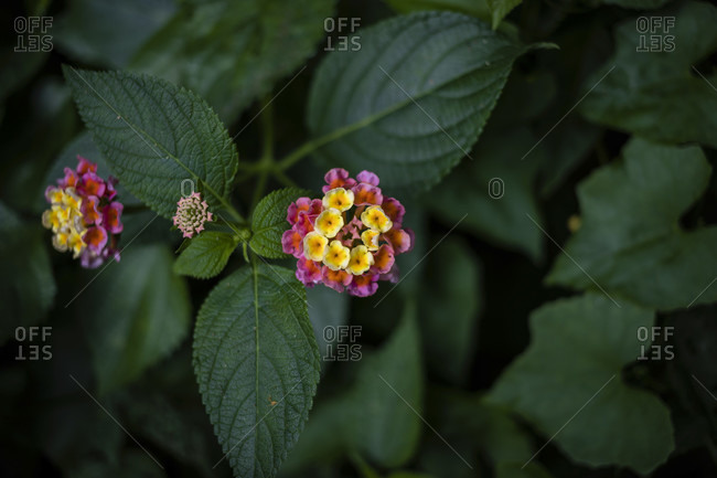 Great Sage Lantana camera in the Kenting National Forest Recreation Area