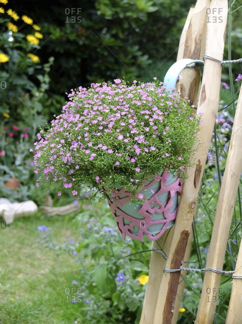 "Gypsophila ""Rosea"" (Gypsophila repens) in a decorative pot on the fence"