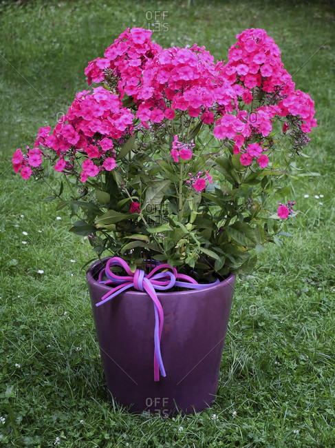 Phlox amplifolia 'Tecumseh', large-leaved flame flower in a purple pot