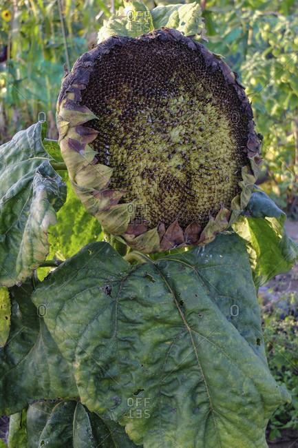 Ripe sunflower (Helianthus annuus) with seeds, in the garden, portrait