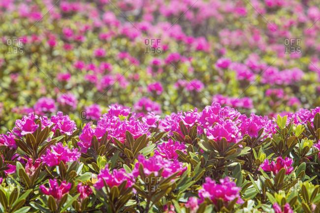 Rhododendron blooming close up, val comelico, belluno, veneto, italy,