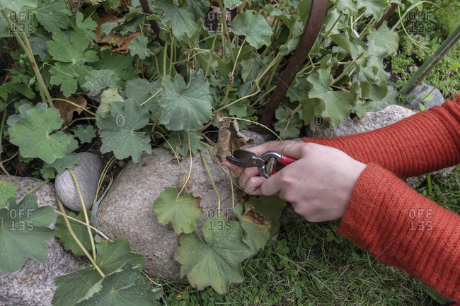 Removing dry leaves from lady's mantle (Alchemilla), garden practice