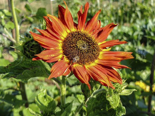 """Sunflower """"Little Becka"""" (Helianthus annuus) in the garden, portrait"""