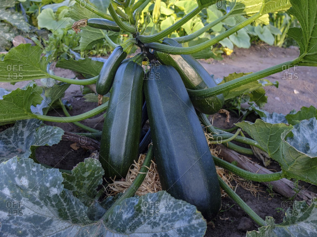 Zucchini lies on wood wool as a base, as protection against rotting
