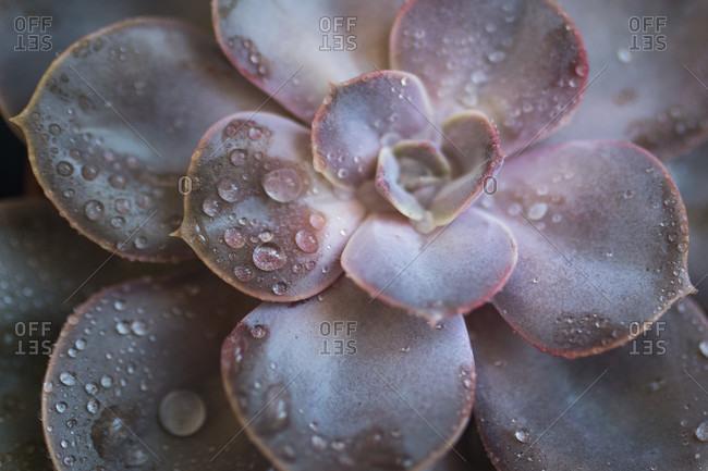 Close-up of a succulent plant - thick leaf, houseplant, decoration
