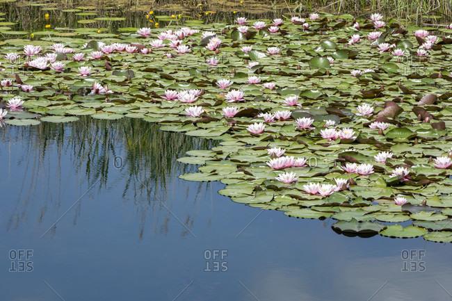 Germany, Baden-Wurttemberg, Au a. Rhine, water lilies (Nymphaea).