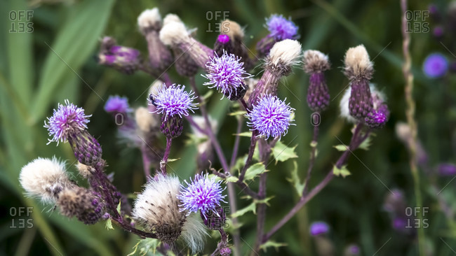 Common thistle at Coursan in spring. National flower of Scotland.