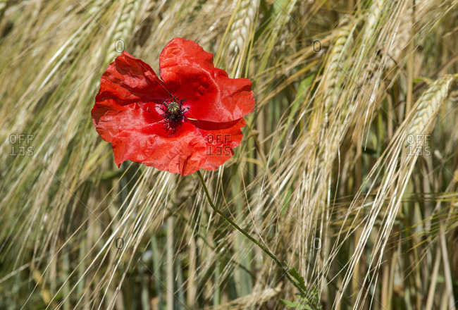 Blooming red poppies in a rye field, Mont-sur-Rolle, Switzerland