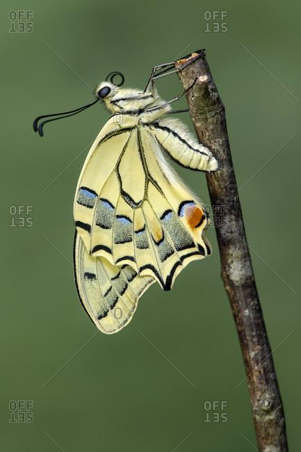 Newly hatched swallowtail butterfly (Papio machaon), Switzerland