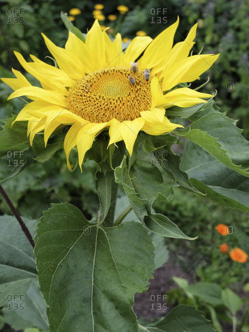 Sunflower (Helianthus annuus) with bees, in the garden, portrait