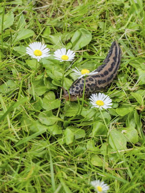 Tiger snail snails (Limax maximus) in the grass between daisies