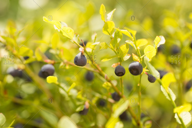 Blueberry twigs with ripe blueberries, summer, forest, Finland