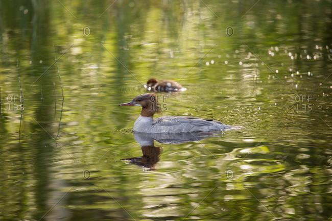 Mergus Merganser, adult female, chick, swimming, lake, Finland