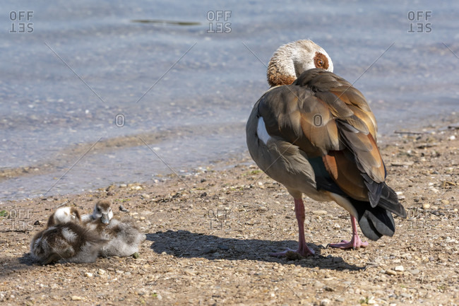 Germany, Egyptian Goose (Alopochen aegyptiaca), with chicks.