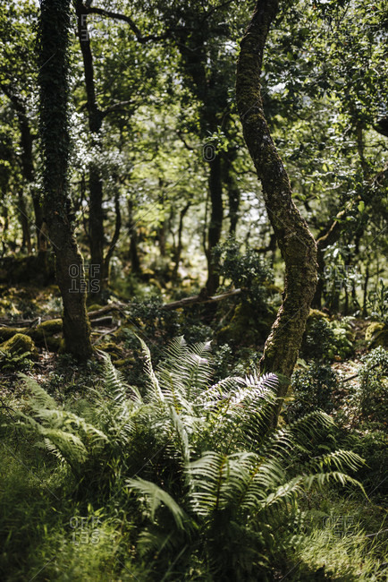 Ferns grow in the forest of Glenveagh National Park, Ireland