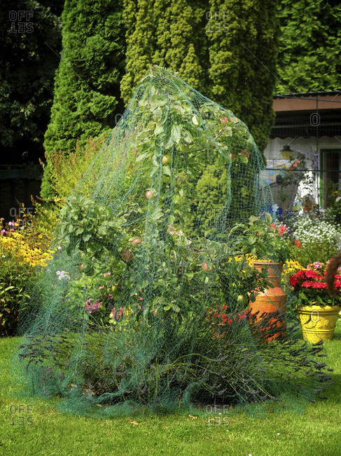 Apple tree covered with net as protection against bird feed