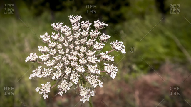 Meadow chervil at Coursan in spring. Can be used as food.