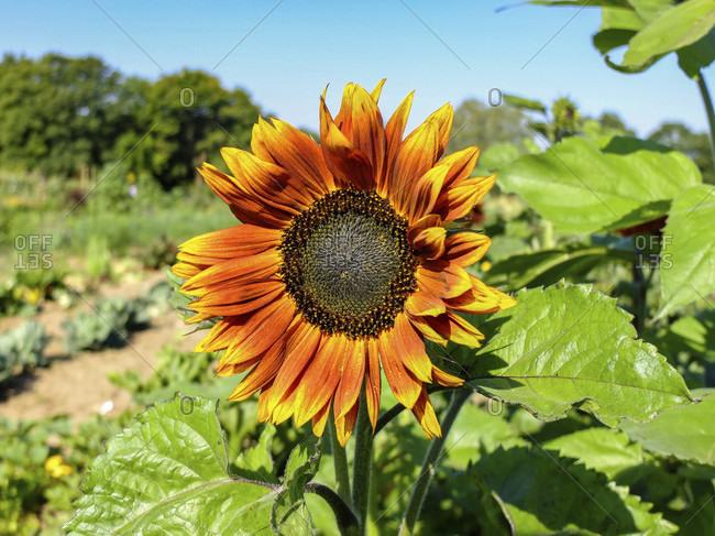 """Sunflower """"Firecracker"""" (Helianthus annuus) in the garden"""