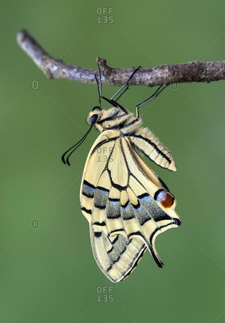 Newly hatched swallowtail (Papilio machaon), Switzerland