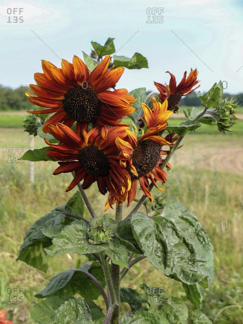 "Sunflower ""Terracotta"" (Helianthus annuus) in the garden"