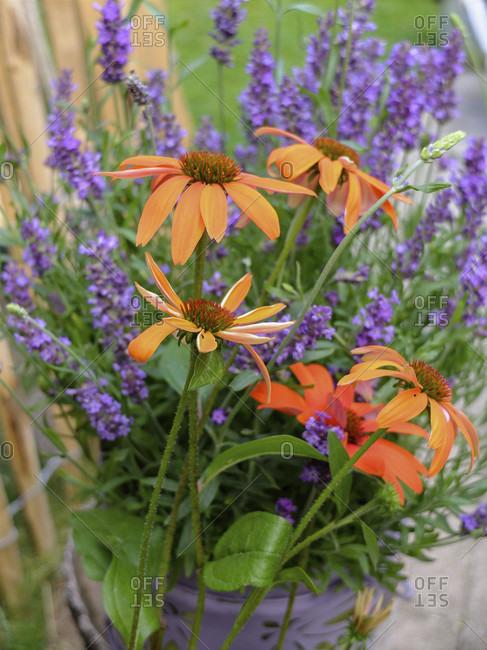 Mock sun hat 'Julia' (Echinacea purpurea) with lavender
