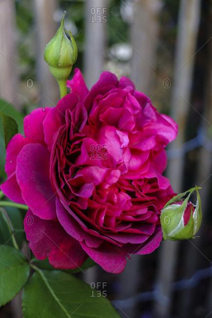 "English rose ""William Shakespeare 2000"", double flower"