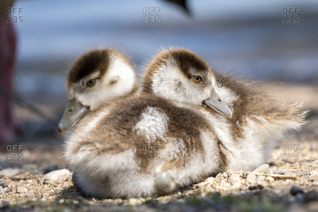 Germany, Egyptian Goose (Alopochen aegyptiaca), chick.