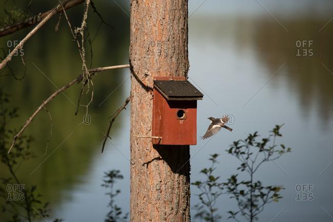 European pied flycatcher (Ficedula hypoleuca), Finland
