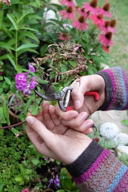 Cut off the faded flowers of Phlox (Phlox paniculata)