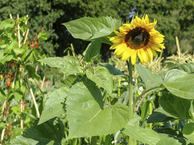 Sunflower (Helianthus annuus) in the garden, portrait