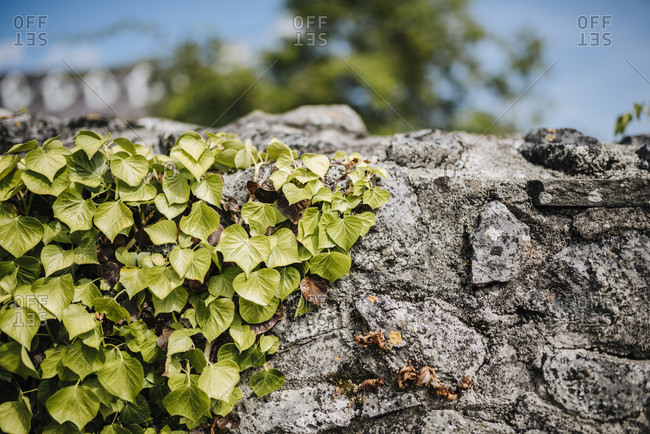 Ivy-covered wall of Black Abbey in Kilkenny, Ireland