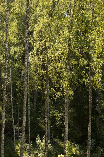 Birch trees against the dark forest, summer scenery