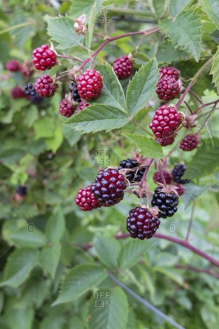 Ripe blackberries (Rubus fruticosus) on the branch