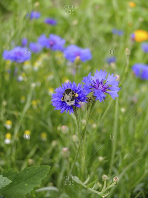 Blue cornflower (Centaurea cyanus) with honey bee