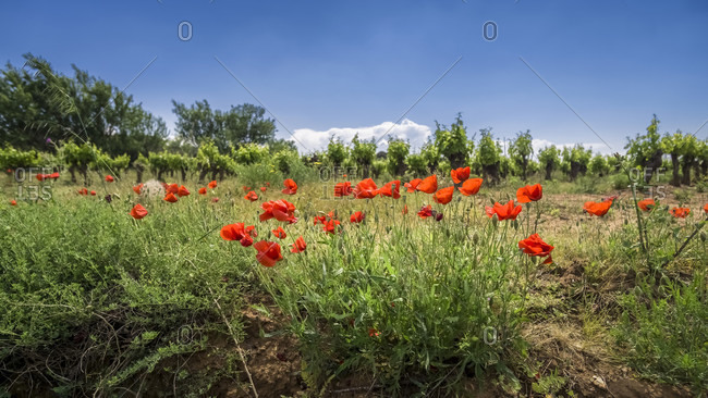 Poppies in front of vineyard at Nevian in spring