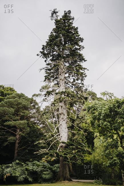 Big pine tree, Killarney National Park, Ireland