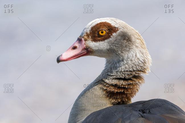 Germany, Egyptian Goose (Alopochen aegyptiaca)