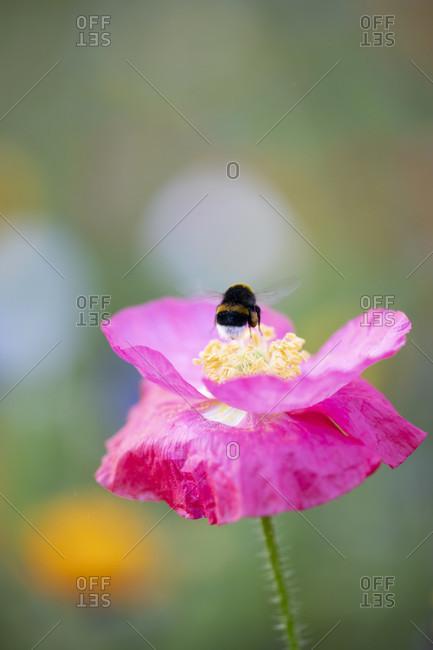 Wildflower meadow, bumblebee on a poppy flower