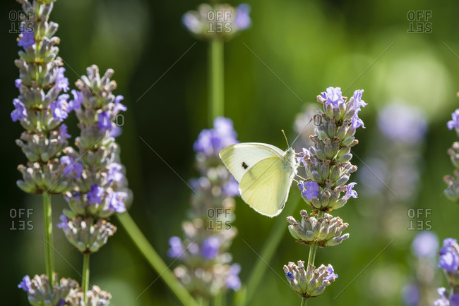 Butterfly sucks nectar from lavender flowers