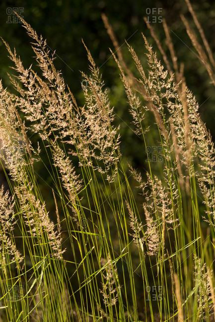 Hays on dark background, natural environment
